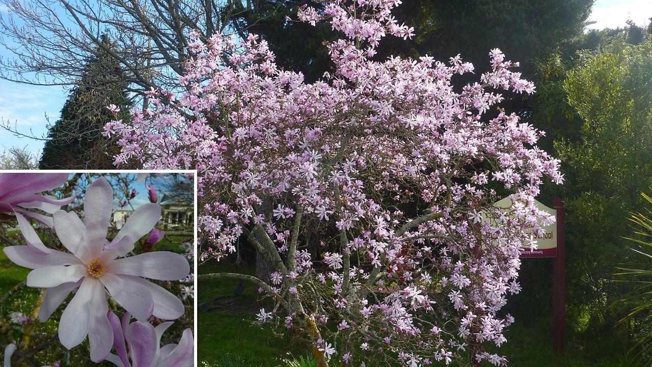 Magnolia Stellata Jane Platt Karins Garden